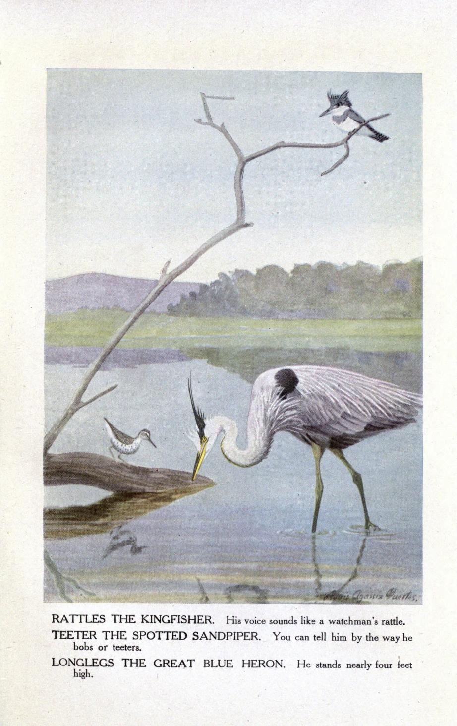 Color illustration of a wading great blue heron, a spotted sandpiper on a log with its reflection in the water, and a belted kingfisher male perched on a branch above the other two birds